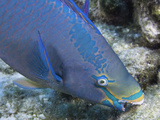 A Queen Parrotfish Feeding on Coral (Scarus Vetula)  Terminal Male or Supermale Phase  Bonaire