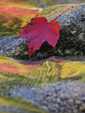 Red Maple Leaf on Rock in Swift River  White Mountain National Forest  New Hampshire