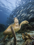 Green Sea Turtle (Chelonia Mydas) Swimming Near a School of Bigeye Jacks (Caranx Sexfasciatus)