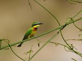 Somali Bee-Eater (Merops Revoilii)  Masai Mara Game Reserve  Kenya  Africa