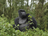 Silverback Mountain Gorilla Sitting (Gorilla Beringei Beringei)  Volcanoes National Park  Rwanda