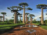 Grandidier´S Baobab (Adansonia Grandidieri)  Near Morondava  Madagascar