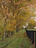 Tree and Fence on Horse Farm  Bluegrass Region Near Lexington  Kentucky