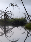 Larch Trees Collapse into Shuchi Lake in the Siberian
