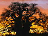 African Baobab Tree (Adansonia Digitata) Silhouetted at Sunset  Tarangire National Park  Tanzania