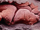 Highly Folded Surface of the Mammal Uterine Endometrium Showing the Numerous Openings of Uterine