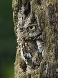 Eastern Screech Owl (Gray Phase) Otus Asio  Michigan