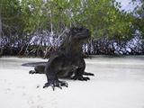 Marine Iguana (Amblyrhynchus Cristatus)