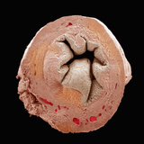 Cross Section of the Uterus Part of the Female Reproductive System