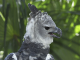 Harpy Eagle Head (Harpia Harpyja)  Belize