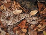 Northern Copperhead (Agkistrodon Contortrix Mokasen)  Captive