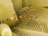 A Spotted Cleaner Shrimp (Periclimenes Yucatanicus) on it&#39;s Host Sea Anemone  Caribbean