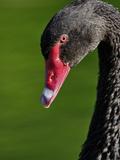 Australian Mute Swan