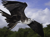 An Young Magnificent Frigatebird (Fregata Magnificens)In Flight over Santa Cruz Island