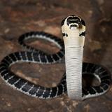 Juvenile King Cobra (Ophiophagus Hannah)  Captive