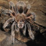 Chilian Rose Hair Tarantula (Grammostola Rosea)  Captive