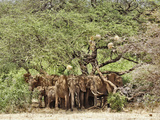 African Bush Elephants (Loxodonta Africana) Huddled under Tree to Avoid Noon Day Sun