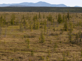Larch Trees in Boreal Forest  Arctic  Russia  Sakha Republic  Siberia  Yakutia