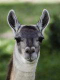 Female Alpaca Head (Vicugna Pacos)