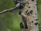 Red-Shafted Flicker (Colaptes Auratus) Nestlings at the Nest Hole in an Aspen Tree