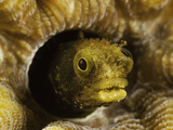 Spinyhead Blenny (Acanthemblemaria Spinosa) in a Hard Coral  Netherlands Antilles  Bonaire