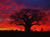 African Baobab Tree (Adansonia Digitata) Silhouetted at Sunset  Tarangire National Park  Tanzania