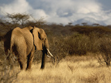 African Bush Elephant (Loxodonta Africana)  Samburu Game Reserve  Kenya  Africa