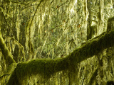 Mosses on Trees in the Hoh Rain Forest  Olympic National Park  Washington  USA