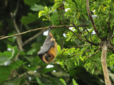 Rodrigues Flying Fox or Fruit Bat (Pteropus Rodricensis)  Rodrigues Island  Mauritius