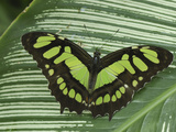 Pearly Malachite Butterfly Adult (Siproeta Stelenes)  Colombia