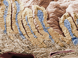 Cross-Section of the Mammal Duodenum or Small Intestine Showing Villi and the Intestinal Glands