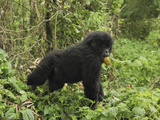 Mountain Gorilla Carrying a Fruit in its Mouth (Gorilla Beringei Beringei)