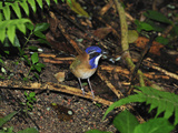Pitta-Like Ground Roller (Atelornis Pittoides)  Masoala National Park  Madagascar