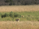 Female Lion in the Foreground and a Male Emerging from the Green Vegetation  South Africa