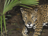 Jaguar (Panthera Onca)  Belize
