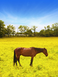 Chestnut Colored Horse Standing in a Beautiful Golden Yellow Field