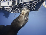 California Sea Lion (Zalophus Californianus) Photographed from Cage During an Expedition