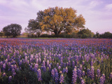 Field of Texas Paintbrush and Texas Bluebonnet Wildflowers and a Live Oak Tree