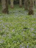 Forest Floor Covered in Phlox and Yellow Trillium Flowers  Great Smoky Mountains National Park