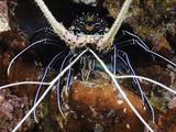 Spiny Lobster (Panulirus Femoristriga)  Tubbatah Reef  Philippines