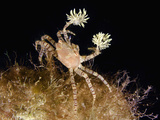 The Endemic Hawaiian Pom-Pom Crab (Lybiedmondsoni) Is Associated with Sea Anemones (Triactis)