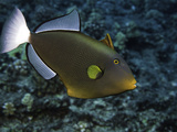 Pinktail Durgon or Pinktail Triggerfish (Melichthys Vidua) Can Reach About One Foot in Length