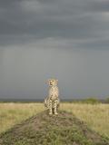 Cheetah (Acinonyx Jubatus) Sitting on Mound in the Masai Mara Game Reserve  Kenya
