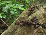 Henkel's Leaf-Tailed Gecko (Uroplatus Henkeli)  Ankarana National Park  Northern Madagascar