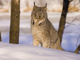 Eurasian Lynx (Lynx Lynx) Sitting in the Snow