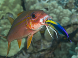 Hawaiian Cleaner Wrasse (Labroides Phthirophagus) Cleaning a Yellowfin Goatfish