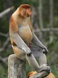 Proboscis Monkey Male Sitting  with an Erect Penis (Nasalis Larvatus)  Sabah  Borneo  Malaysia