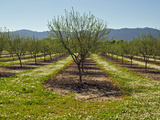 Hazelnut Orchard (Corylus) in the Spring  Southwest Oregon  USA