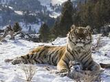 Siberian Tiger (Panthera Tigris Altaica) in Captivity