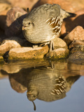 Gambel&#39;s Quail at a Desert Waterhole (Callipepla Gambelii)  Southwestern USA